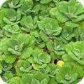 Waterplanten die woekeren als de (water)pest.