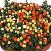 Koraalmosje met oranje, witte en gele besjes in een pot.