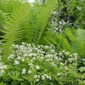 Lievevrouwebedstro of Asperula odorata: het geschikte kruid om maitrank van te maken