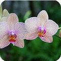Orchidee na de kerstboom