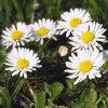 Eetbare bloemen in de tuin planten en kweken