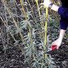 Vlinderstruik snoeien Buddleja: tijdstip en werkwijze