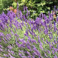 Lavendel snoeien + gebruik