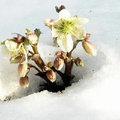 Wintergroene, witte planten
