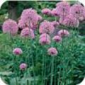 Allium sierui