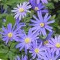 Anemone blanda - Oosterse anemoon