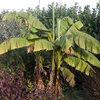 Japanse vezelbanaan of de Musa basjoo beschermen tegen de winter