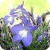 Lobelia's zijn er in vele kleuren en vormen en kunnen in de tuin maar ook in een hangmand of in een terrasbak