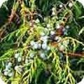 Juniperus communis of de jeneverbes: soorten in de tuin