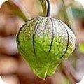 Tomatillo, de Mexicaanse aardkers of groene tomaat is de eetbare vrucht van Physalis ixocarpa
