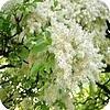 Pluimes of Fraxinus ornus: witbloeiende boom voor in de tuin