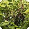 Catalpa of trompetboom: verwelkingsziekte