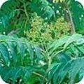 Ailanthus altissima of hemelboom is een grote boom die goed bestand is tegen vervuilde lucht