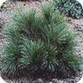 Pinus strobus of weymouthden wordt als sierboom in parken en bossen aangeplant.