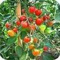 Geschiedenis en herkomst van de tomaat met weetjes, tips en recepten