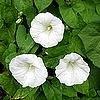 Onkruiden: de meest vervelende soorten onkruid in de tuin