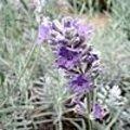 Lavandula of lavendel