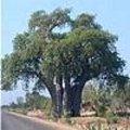 Adansonia - baobab: tropische apebroodboom: verspreiding, naam, gebruik, soorten, mythologie