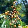 Sapindus mukorossi - Wasnootboom