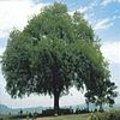 Wonderboom / neemboom -  Azadirachta indica of Antelaea azadirachta