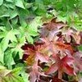 Liquidambar styraciflua - Amberboom: soorten, snoeien, naamgeving, standplaats, gebruik