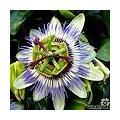 Passiflora caerulea - blauwe passiebloem als klimplant voor volle grond of als kuipplant: snoeien, stekken, overwinteren,...