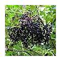 Vlierbessensiroop en vlierbessenjam maken met de bessen van de vlier (Sambucus nigra)