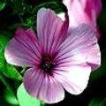 Lavatera trimestris - grootbloemige lavatera of bekermalva als eenjarige plant met prachtige bloemen