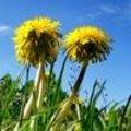 Tuinsfeer: Paardebloem als onkruid of als mooie bloem