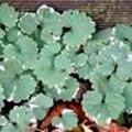 Glechoma hederacea 'Variegata' - Bonte hondsdraf