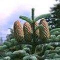 Abies procera of edelspar