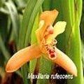 Maxillaria in het kort + verzorging van deze mooie orchidee