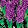 Hyacint 'Purple Sensation' is lentebloeier 2009
