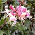 Geurende klimplanten die in het voorjaar bloeien tegen gevels of langs pergola, rozenboog, berceau,...