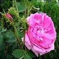 Rosa 'Cristata' - Mosroos