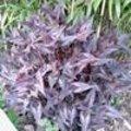 Persicaria Red Dragon - Vurige duizendknoop