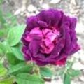 Rosa 'Nuits de Young'