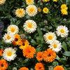 Eetbare bloemen: enkele vaak gebruikte soorten en smaken