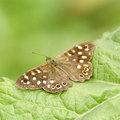 Vlinderplanten lokken vele mooie vlinders naar de tuin