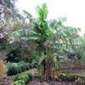 Vorstbestendige bananen als Musa basjoo, Musa sikkimensis en Musella lasiocarpa