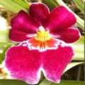 Miltonia, de viooltjesorchidee