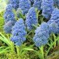 Muscari Blue Spike