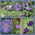 Planten voor de paarse / blauwe border aan te leggen