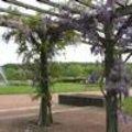 Leiheesters en klimmende vaste planten