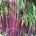 Bamboe weetjes