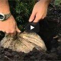 Tekst en video: planten van coniferen