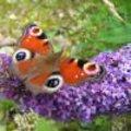 Stekken van vlinderstruik