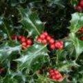 Winterse sierbessen uit eigen tuin