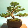 Bonsai ?? als kamerplant: levenslang met de kunstzinnige Bonsai