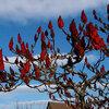 Rhus typhina - Fluweelboom, azijnboom.